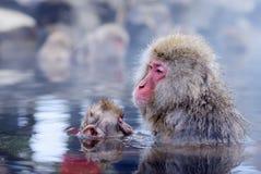 Japońscy makaki Zdjęcie Royalty Free