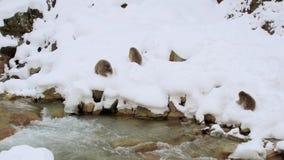 Japońscy makaki lub śnieg małpują blisko gorącej wiosny zdjęcie wideo