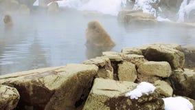 Japońscy makaki lub śnieg małpują w gorącej wiośnie zbiory