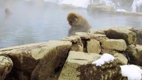 Japońscy makaki lub śnieg małpują w gorącej wiośnie zbiory wideo