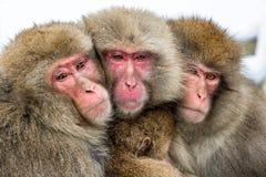 Japońscy makaki themselves w przeciw zimnej zimy pogodzie rodzinny nagrzanie Japońskiego makaka Naukowy imię: Macaca zdjęcie royalty free