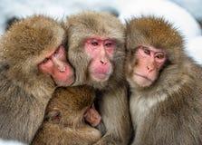 Japońscy makaki themselves w przeciw zimnej zimy pogodzie rodzinny nagrzanie Japońskiego makaka Naukowy imię: Macaca fotografia stock