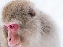 Japońska śnieg małpa obrazy stock