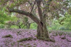 Japońska Czereśniowa wiosna w central park Obraz Royalty Free