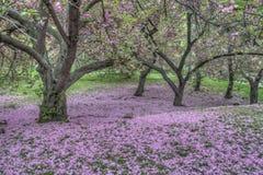 Japońska Czereśniowa wiosna w central park Zdjęcie Stock
