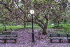 Japońska Czereśniowa wiosna w central park Fotografia Royalty Free