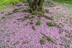 Japońska Czereśniowa wiosna w central park Obrazy Royalty Free
