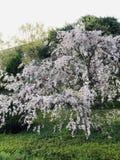 Japońska kwiat wiśnia obrazy royalty free