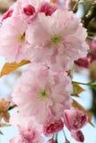 Japońska kwiatonośna wiśnia (Prunus serrulata) Obrazy Stock