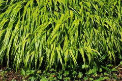 Japońska lasowa trawa obrazy stock