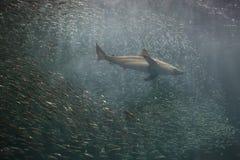 Japońska sardela i rekin w Japonia zdjęcie stock
