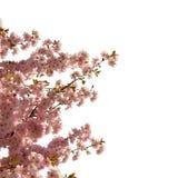 Japońska wiśnia odizolowywająca Obraz Royalty Free