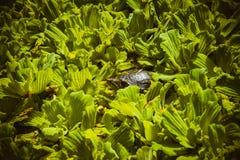 Japoński żółwia zerkanie od liści Obraz Royalty Free