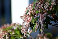 Japoński andromedy rośliny tło obraz stock