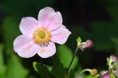 Japoński anemon zdjęcia royalty free