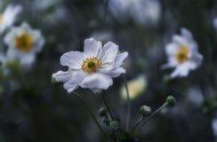 Japoński anemon obrazy royalty free