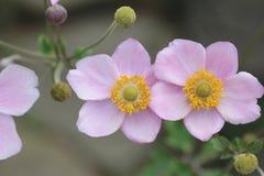 Japoński anemon - Tomentosa obrazy royalty free