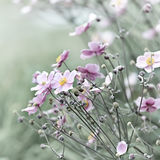 Japoński anemon (windflower) fotografia stock