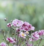 Japoński Anemonowy windflower wiosna kwiat zdjęcie stock