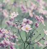 Japoński Anemonowy windflower wiosna kwiat fotografia royalty free