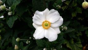 Japoński anemonu Honorine Jobert kwiat obraz stock