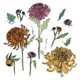 Japoński chryzantema set Kolorowa kolekcja z ręka rysującymi pączkami, kwiaty, liście Rocznik stylowa ilustracja Obraz Royalty Free