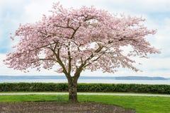 Japoński Czereśniowy drzewo w kwiacie na wybrzeżu Obraz Royalty Free
