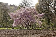 Japoński czereśniowy drzewo w wiośnie, Niemcy Fotografia Royalty Free