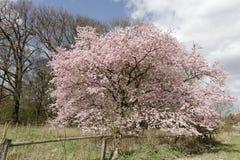 Japoński czereśniowy drzewo w wiośnie, Niski Saxony, Niemcy Obrazy Stock