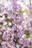 Japoński czereśniowy okwitnięcie & x28; Sakura tree& x29; wiosny hanabi lub sezonu se Zdjęcie Stock
