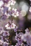 Japoński czereśniowy okwitnięcie & x28; Sakura tree& x29; wiosny hanabi lub sezonu se Zdjęcie Royalty Free