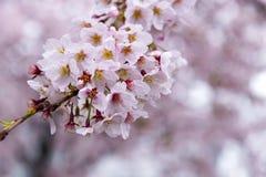 Japoński czereśniowy okwitnięcie & x28; Sakura tree& x29; wiosny hanabi lub sezonu se Obraz Royalty Free