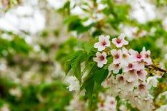 Japoński czereśniowy okwitnięcie & x28; Sakura tree& x29; wiosny hanabi lub sezonu se Obrazy Royalty Free