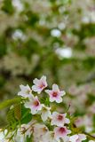 Japoński czereśniowy okwitnięcie & x28; Sakura tree& x29; wiosny hanabi lub sezonu se Zdjęcia Stock