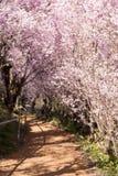 Japoński czereśniowy okwitnięcie tunel & x28; Sakura tree& x29; wiosna sezon lub Zdjęcia Stock
