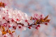 Japoński czereśniowy okwitnięcie w ładnej pogodnej pogodzie Obrazy Stock
