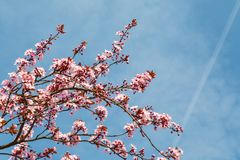Japoński czereśniowy okwitnięcie w ładnej pogodnej pogodzie Obraz Royalty Free