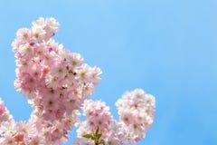 Japoński czereśniowy okwitnięcie w ładnej pogodnej pogodzie Zdjęcia Royalty Free