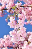 Japoński czereśniowy Sakura drzewa kwitnienie zdjęcie royalty free