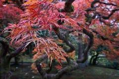 Japoński czerwony klonowy drzewo podczas spadku w Japońskim ogródzie obraz royalty free
