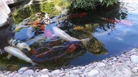Japoński karp w stawie, wielka ryba w stawowym, ornamentacyjnym stawie, Dekoracyjna jaskrawa ryba unosi się w stawie zbiory