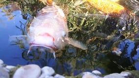 Japoński karp w wodzie, Japoński KOJA karp unosi się w dekoracyjnym stawie Galanteryjny karp lub Koi ryba jesteśmy czerwienią, po zbiory