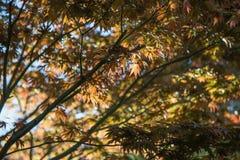 Japoński klonowego drzewa tło Zdjęcie Royalty Free