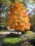 Japoński Klonowy drzewo w Nim jest jesieni kolorami kolor żółty i pomarańcze obrazy royalty free
