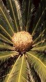Japoński królewiątka Sago palmy lub Sago Cycad obraz stock
