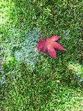 Japoński liść klonowy na mechatej świątyni gruntuje w Kyoto Zdjęcia Stock