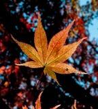 Japoński liść klonowy w backlight Obrazy Stock