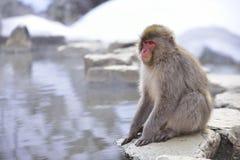 japoński makak Obrazy Royalty Free