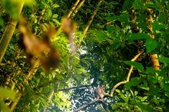 Japoński makak w naturalnym siedlisku, lesie tropikalnym i dżungli, Zdjęcie Royalty Free