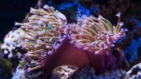 Japoński rzemienny koralowy otwarcie czasu upływ zdjęcie wideo